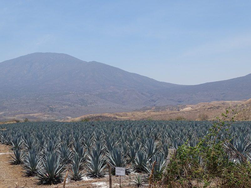Champ d'agave bleu à tequila, Mexique